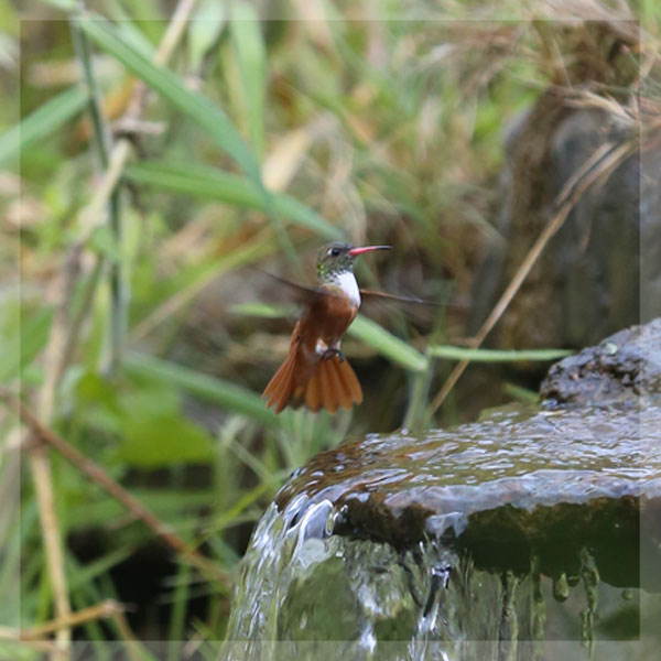 Birdwatching and Wildlife observation at the Chaparri Reserve:  a succesfull community run conservation and ecotourismproject